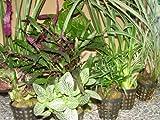Mühlan Wasserpflanzen 5 Topf Dekorpflanzen Mix für Paludarium, Terrarium