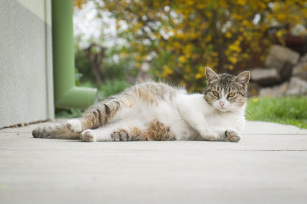 Katzen-Tragezeit