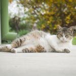 Katzen und ihre Tragezeit