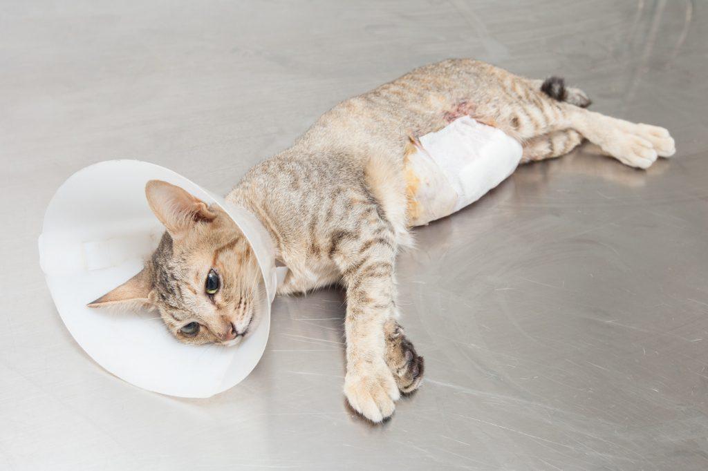 Katze-kastrieren