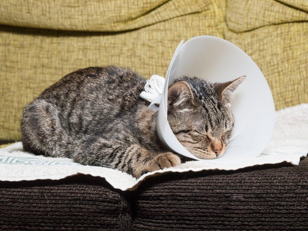 Katze-kastrieren-Kosten