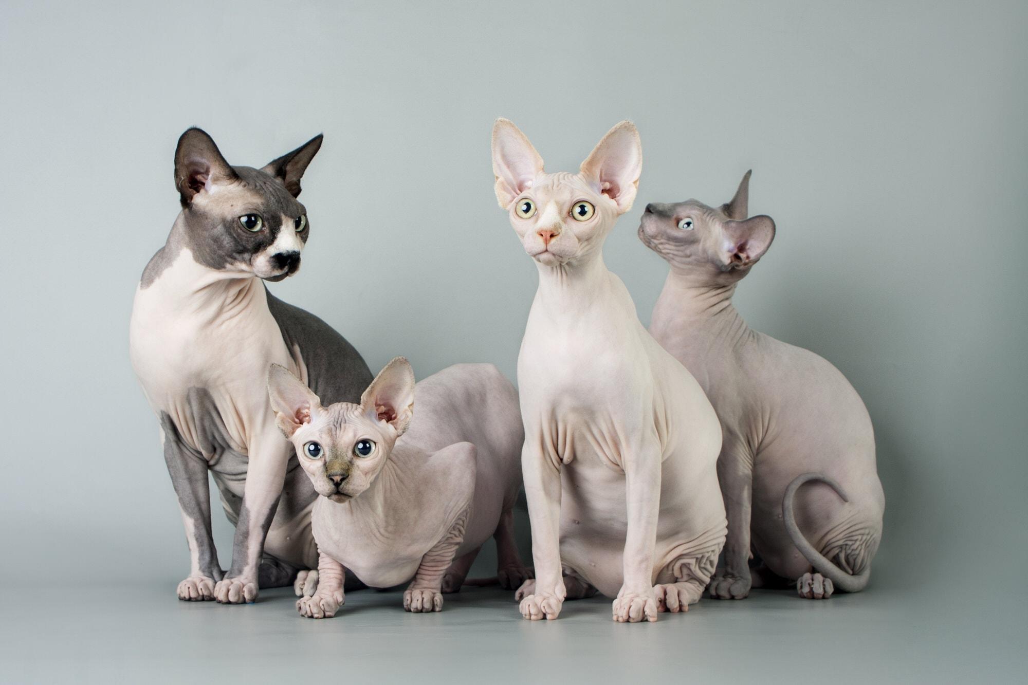 Katzen, die nicht haaren