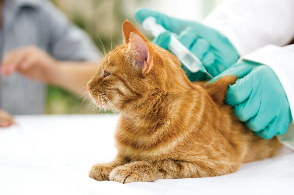 Katzen-impfen