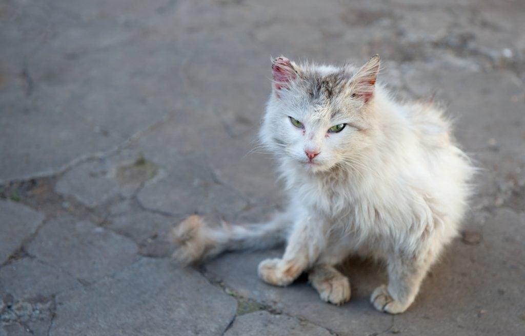 Katze-verliert-Fell
