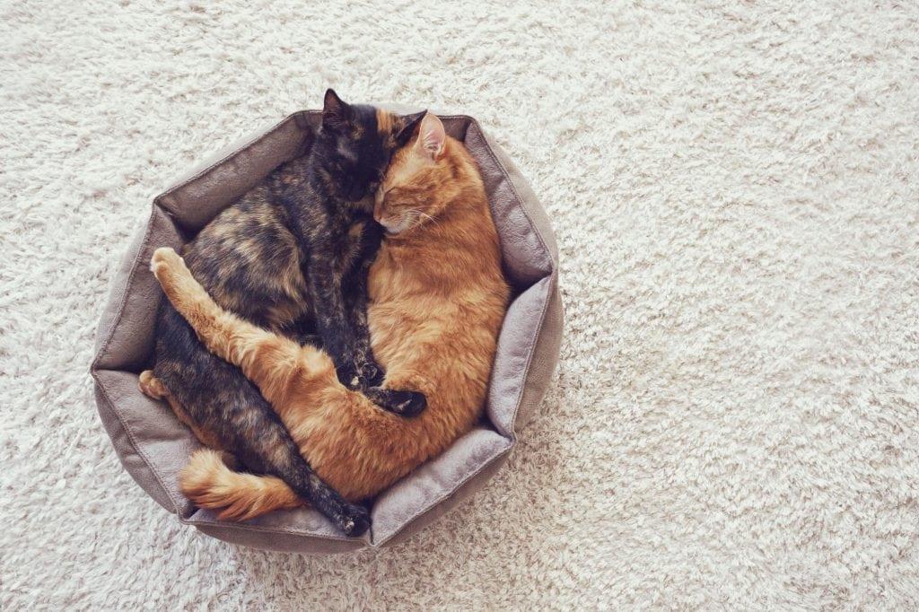 Katze-schnarcht