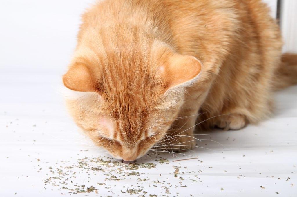 Katzenminze-kaufen