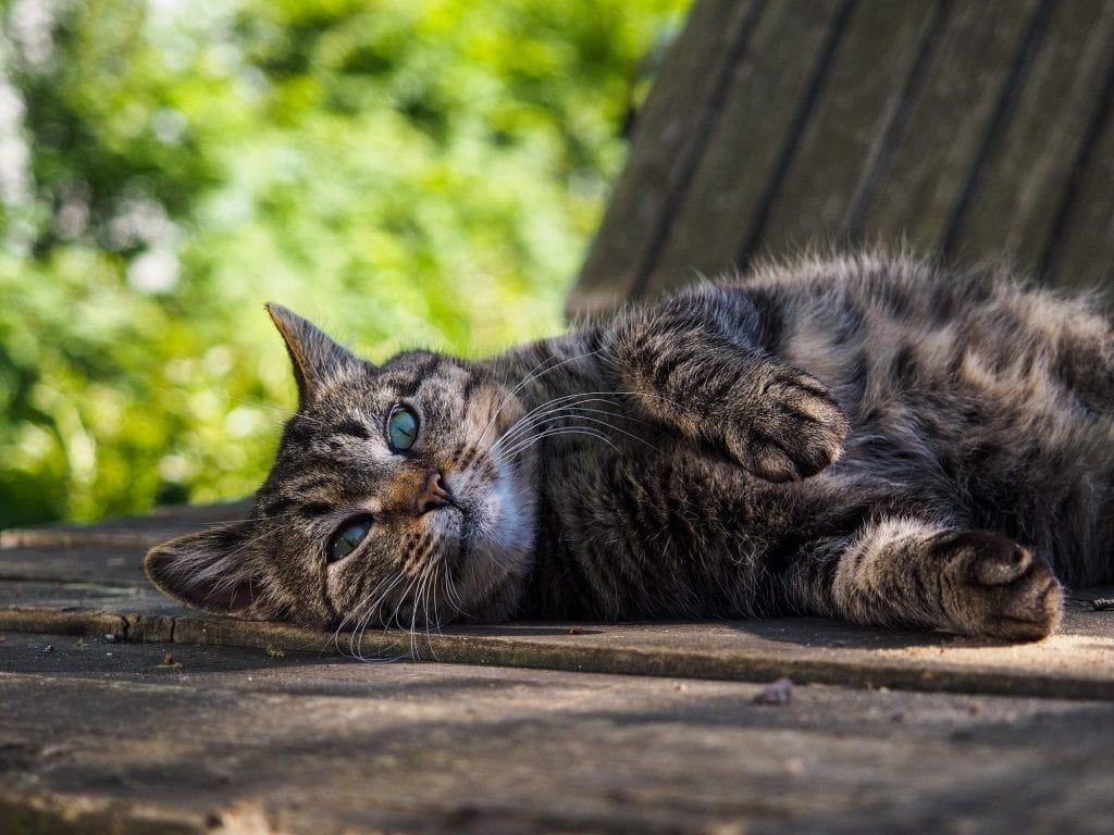 Rollige-Katze