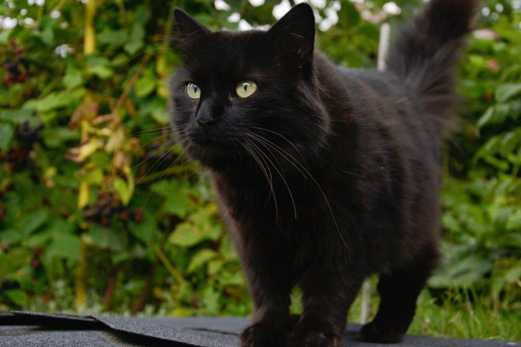 Chantilly-Katze