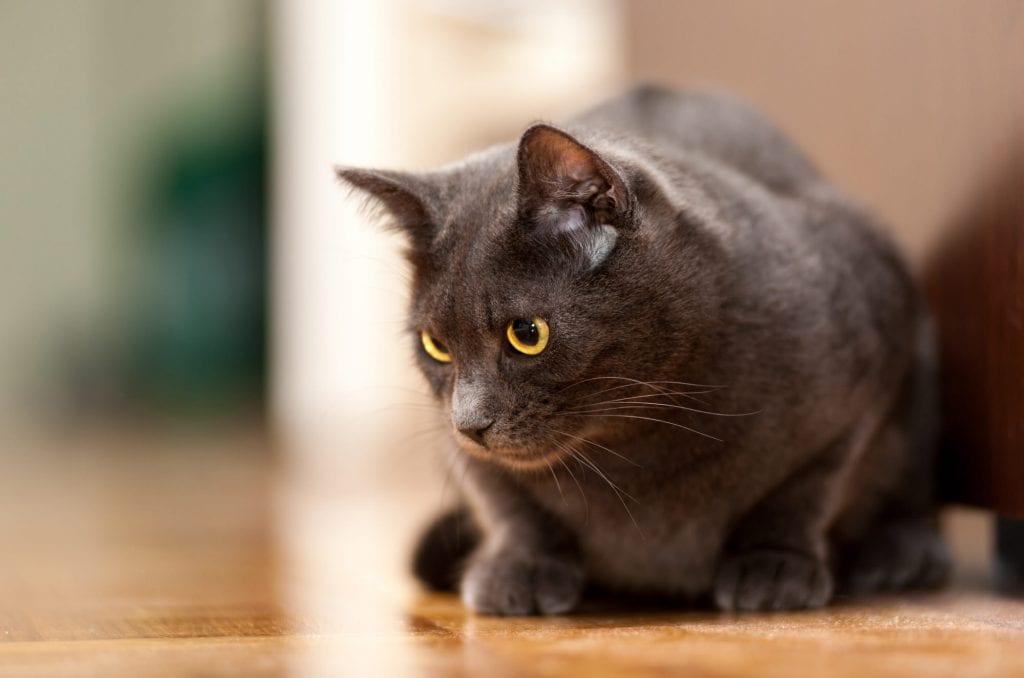 Chartreux-Katze