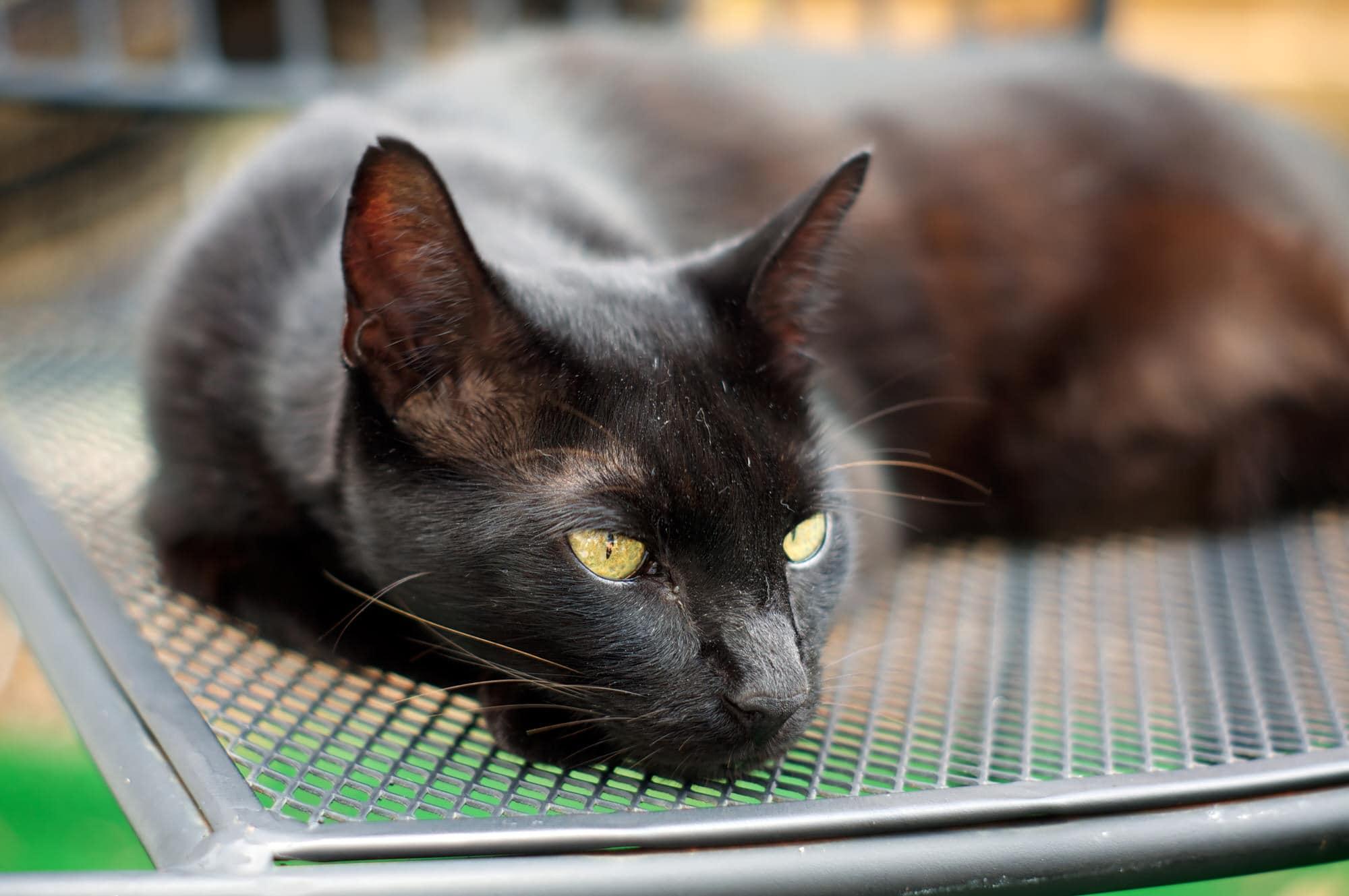 Havana-Katze