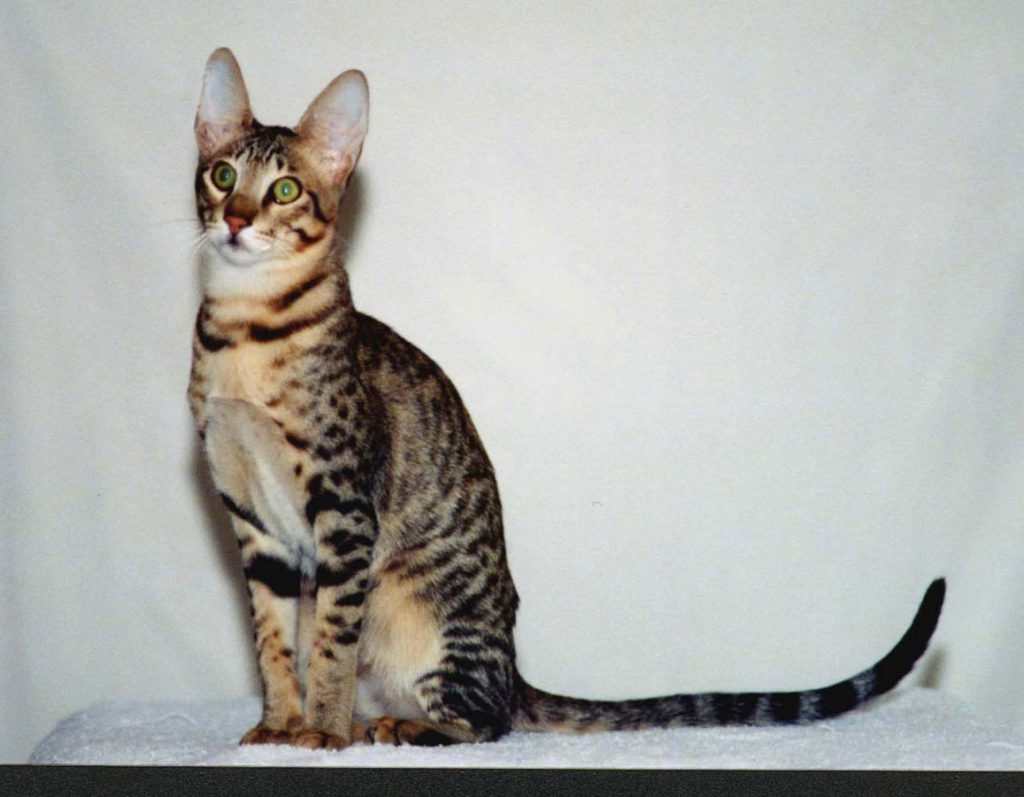 Serengeti-Katze
