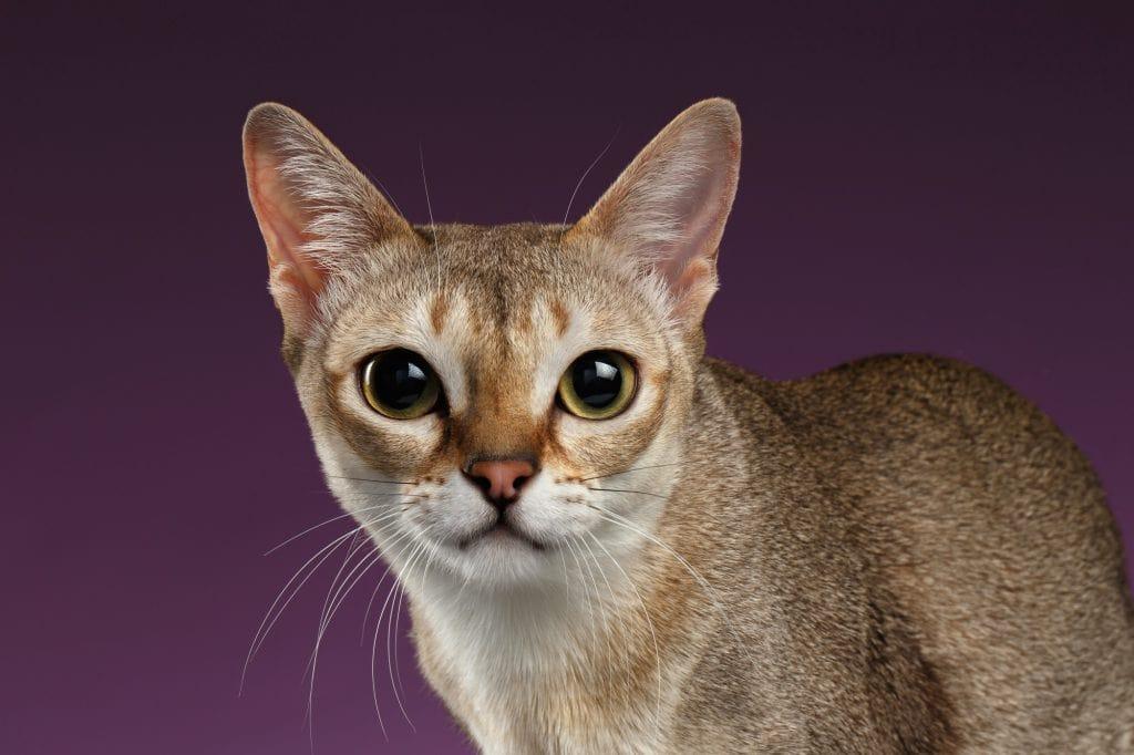 Singapura-Katze