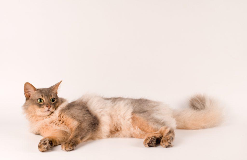 Somali-Katze