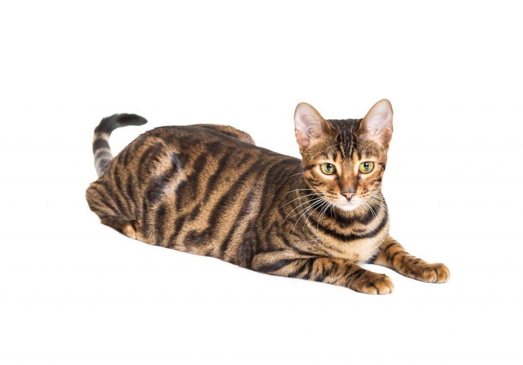 Toyger-Katze