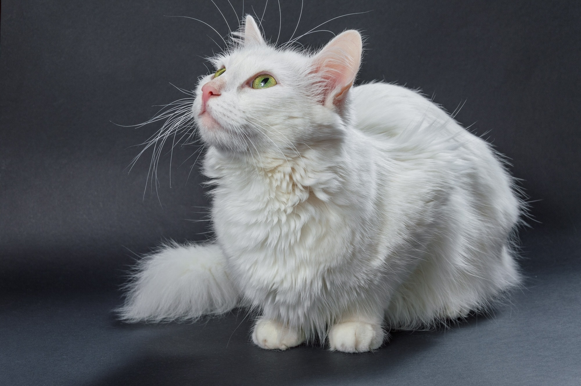 Angora-Katze