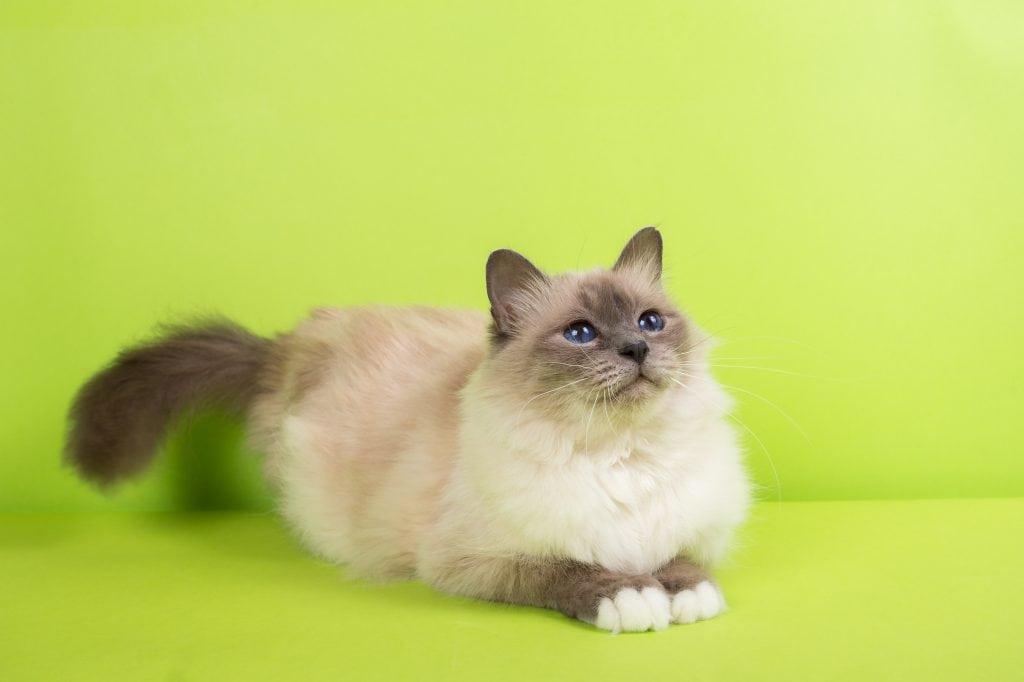 Maine-Coon Katze