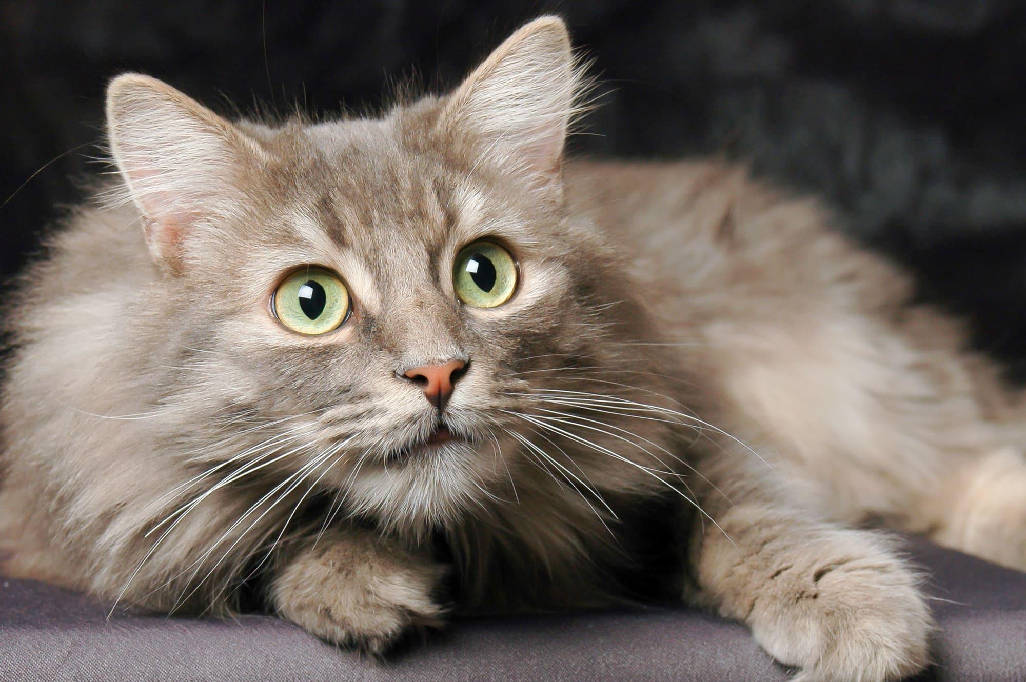 norwegische waldkatze smart animals. Black Bedroom Furniture Sets. Home Design Ideas