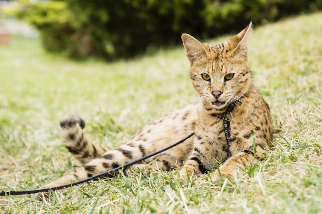Savannah-Katze