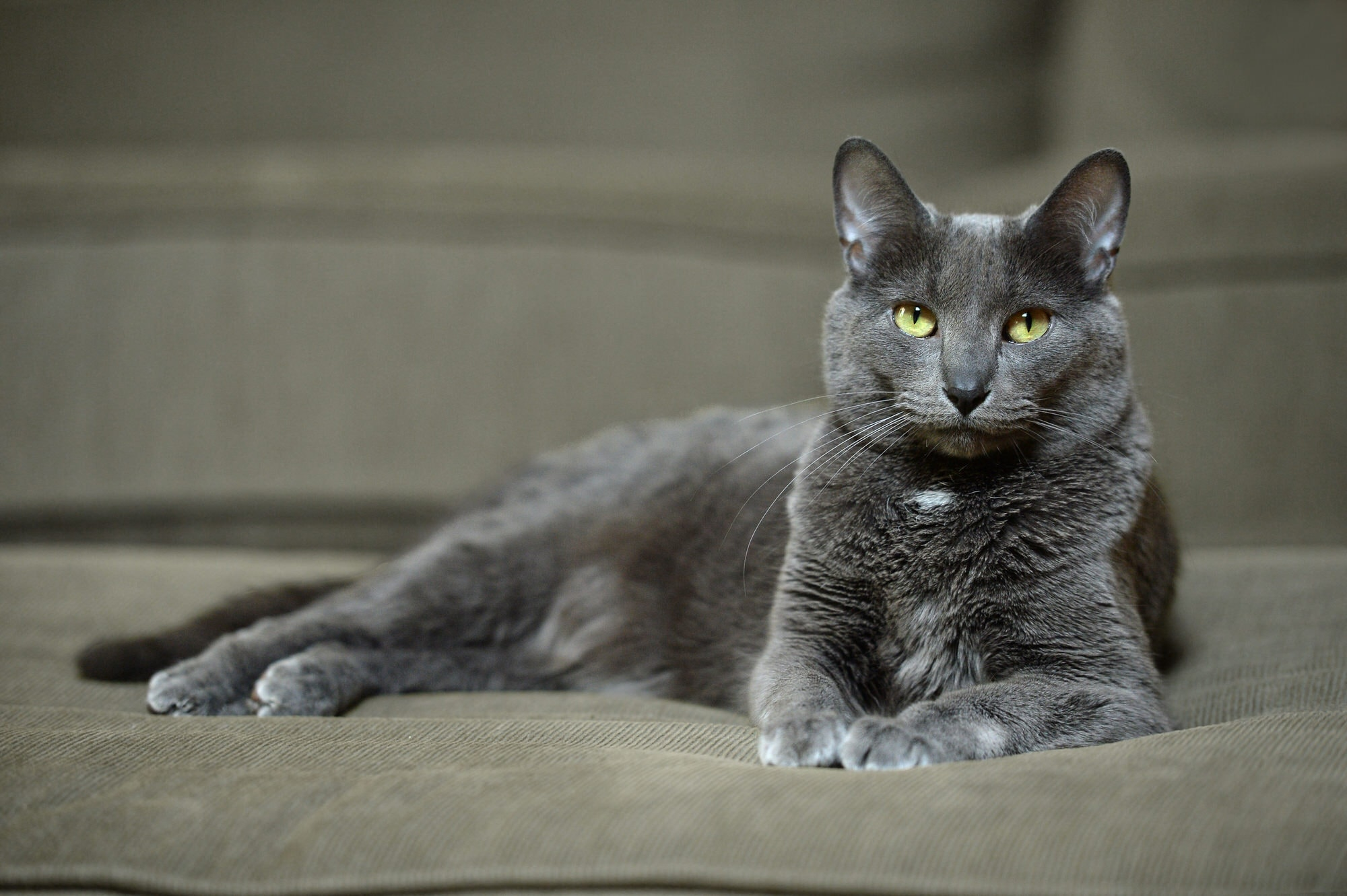Russian Blue Cat Baby