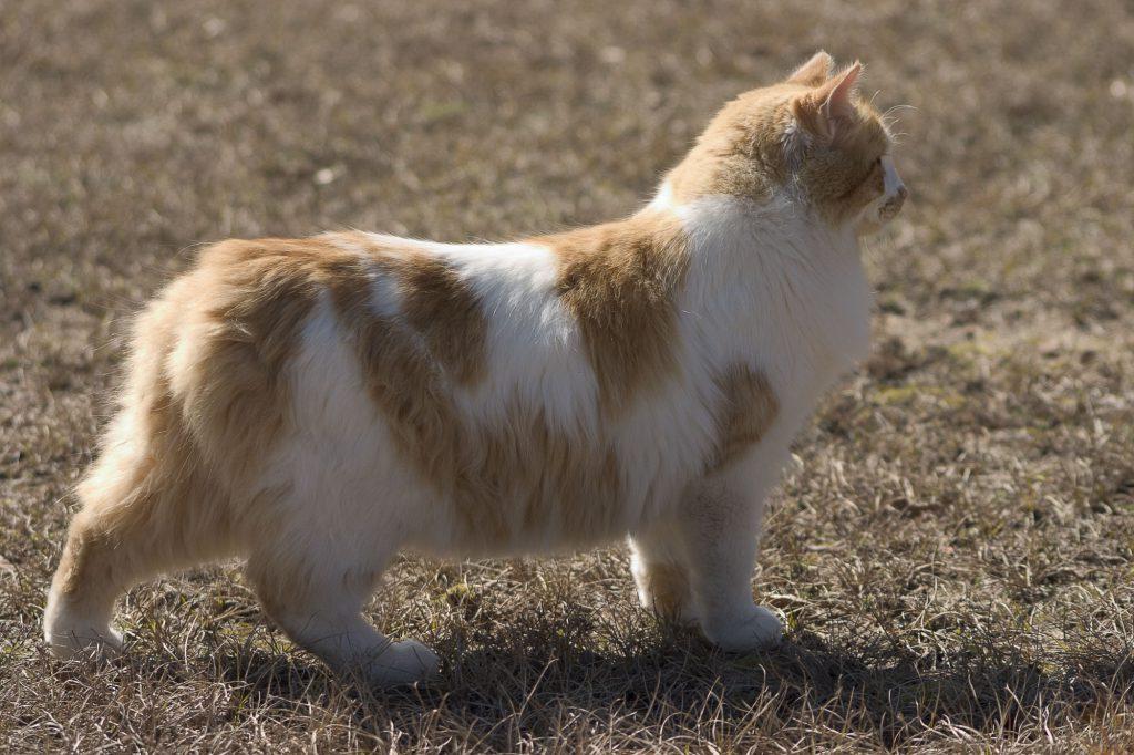 Manx-Katze