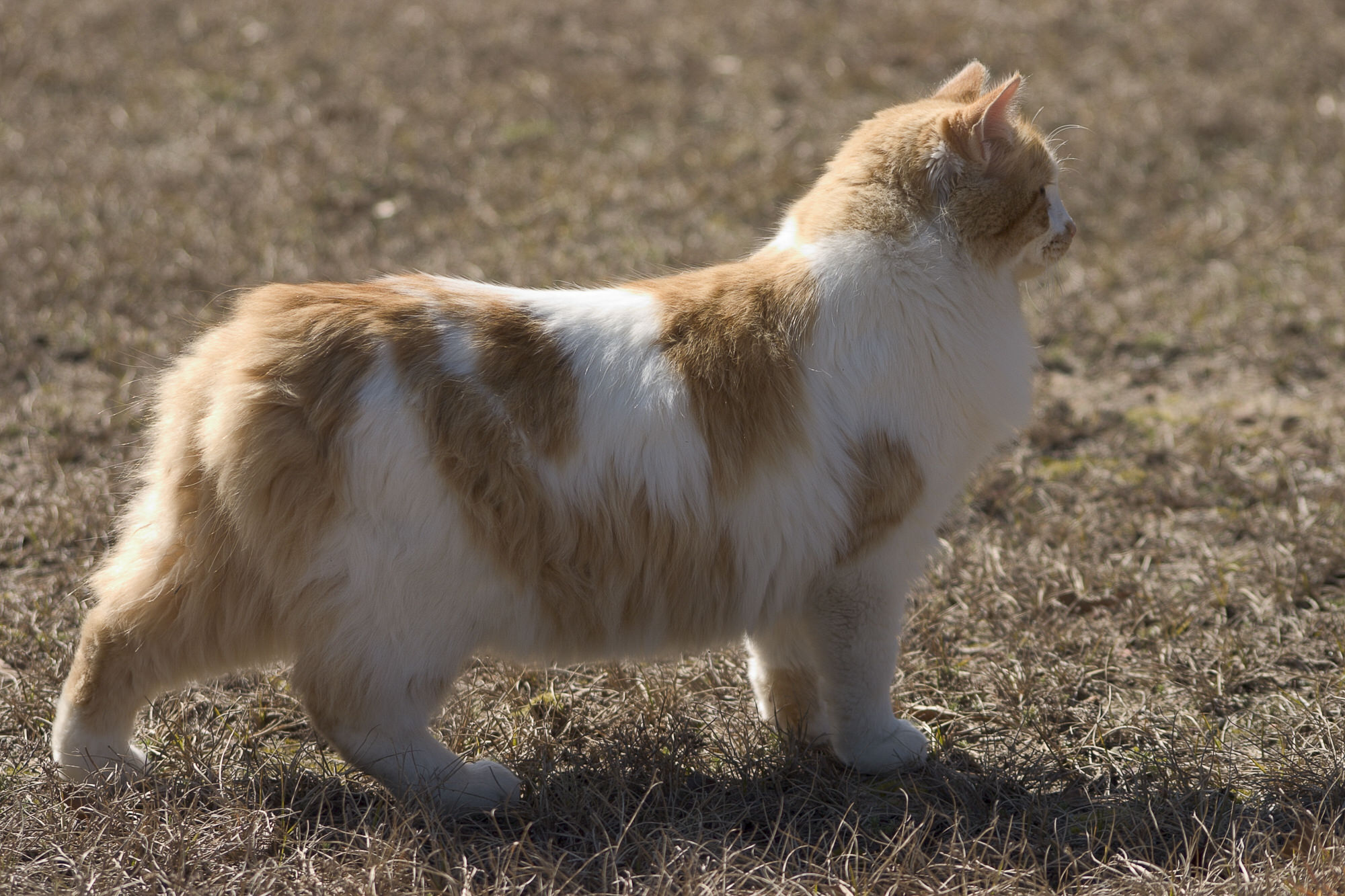 Manx Breed Of Cat