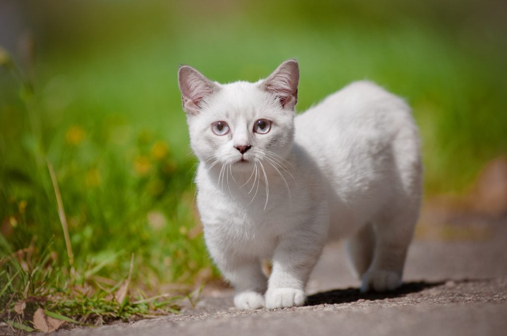 Munchkin-Katze