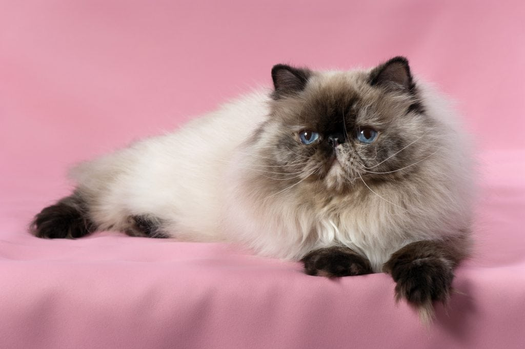 Colourpoint-Katze