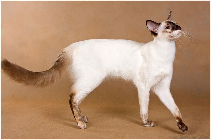 Javanese-Katze