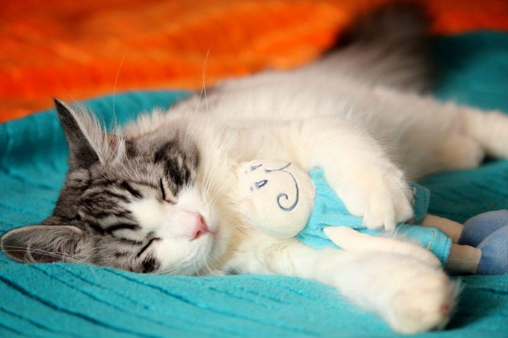 RagaMuffin-Katze