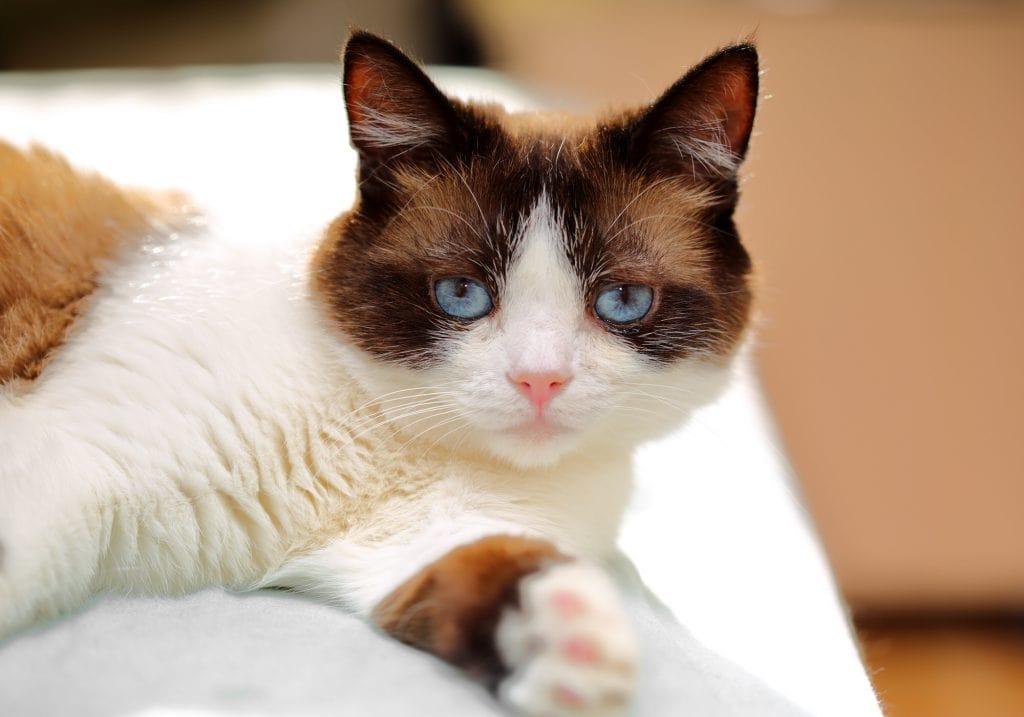 Snowshoe-Katze