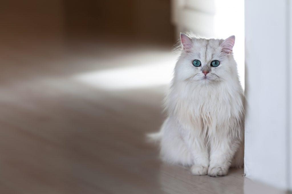 Chinchilla-Katze