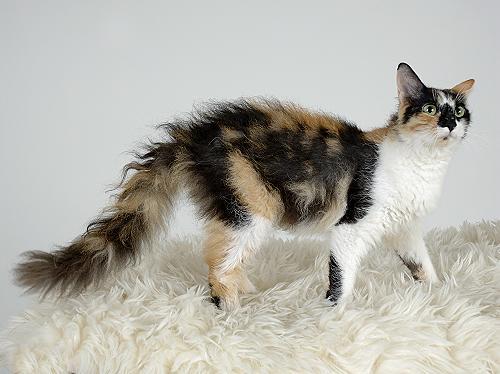 LaPerm-Katze