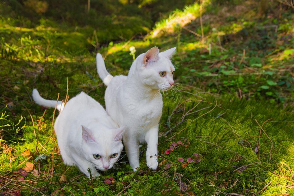 Burmilla-Katze