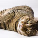 Europäische Kurzhaar-Katze