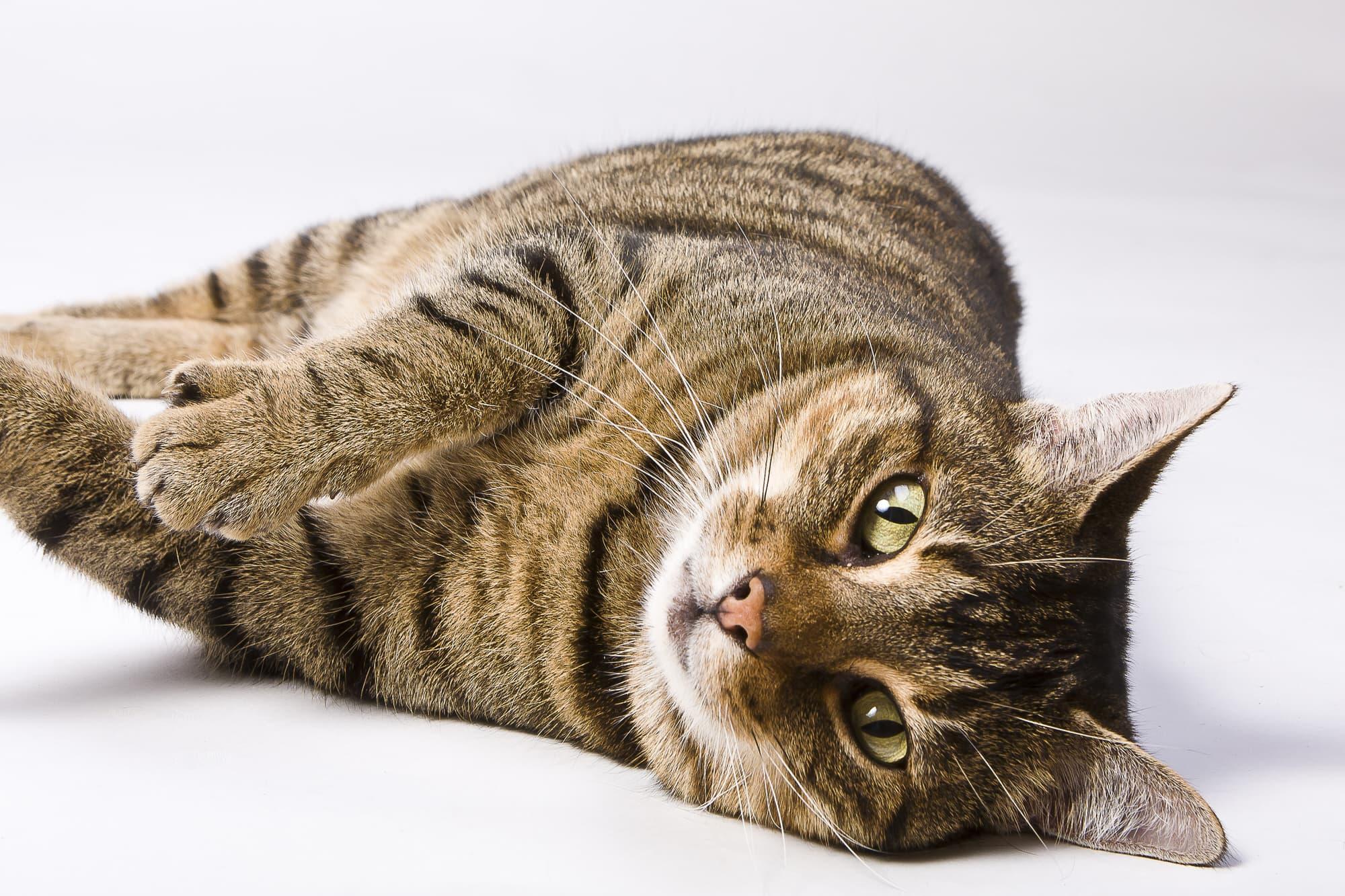 Europäisch Kurzhaar-Katze